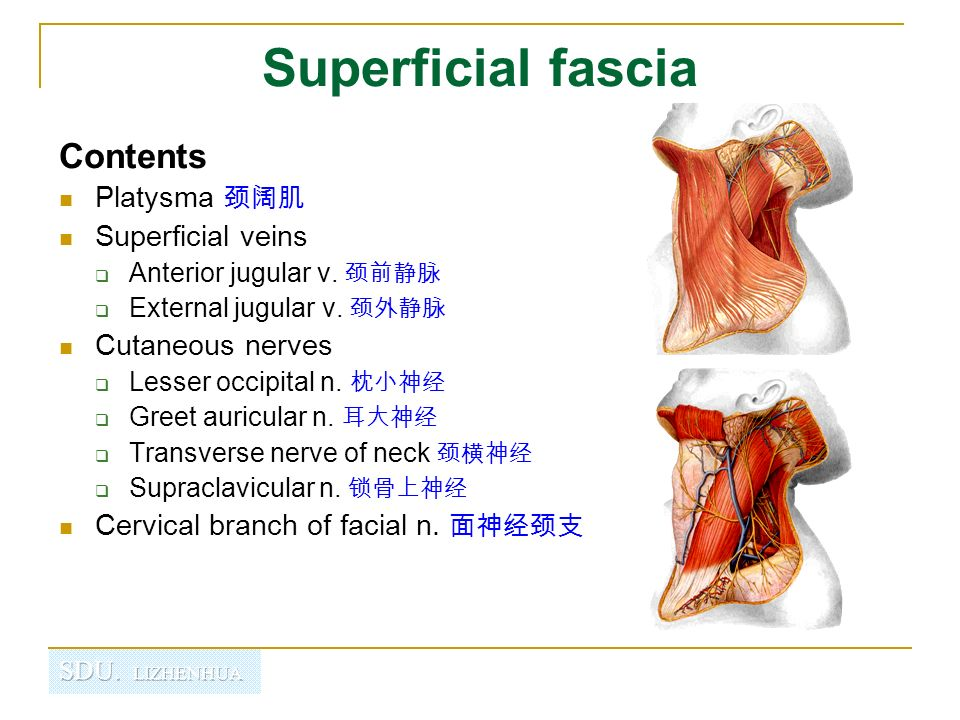 Regional anatomy of neck - ppt video online download