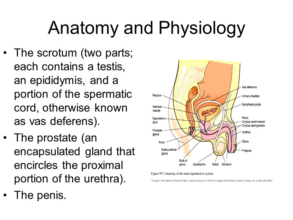 Unique Anatomy And Physiology Of Prostate Gland Photo - Anatomy And ...