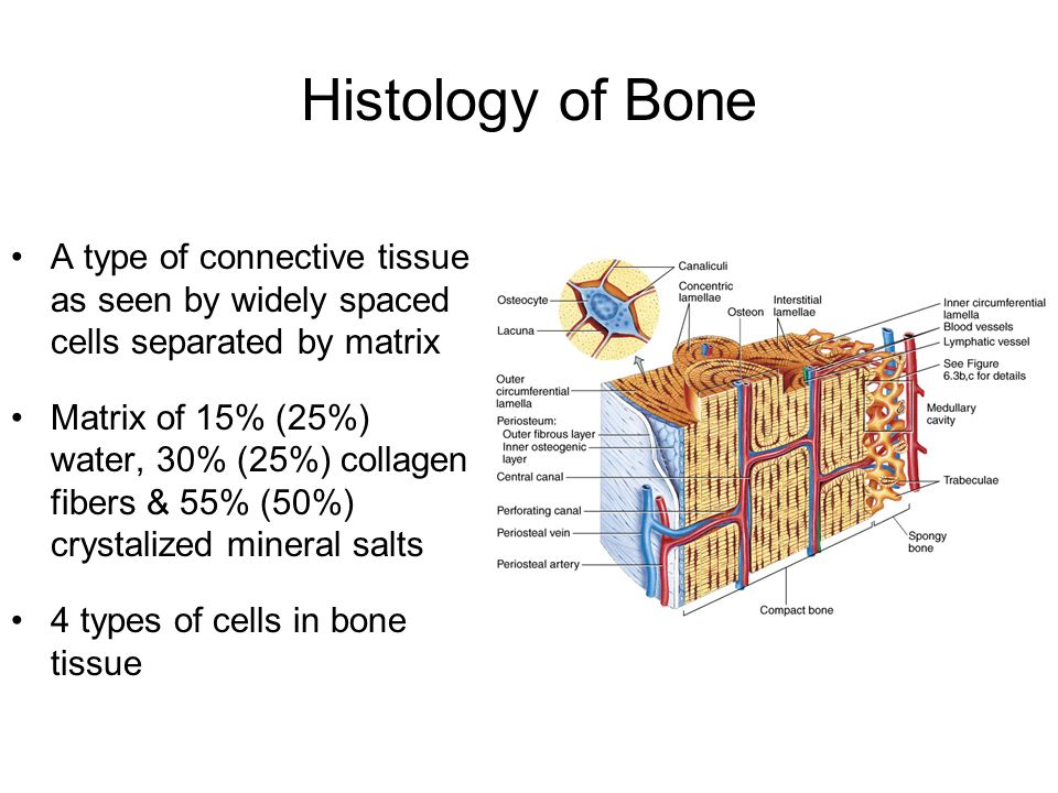 Bone Tissue and the Skeleton - ppt video online download