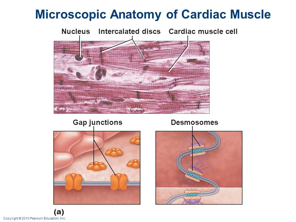 Cardiac Muscle Cell Image collections - human anatomy organs diagram