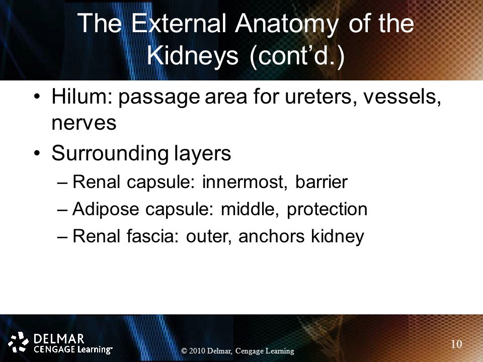 The External Anatomy of the Kidneys (cont'd.)