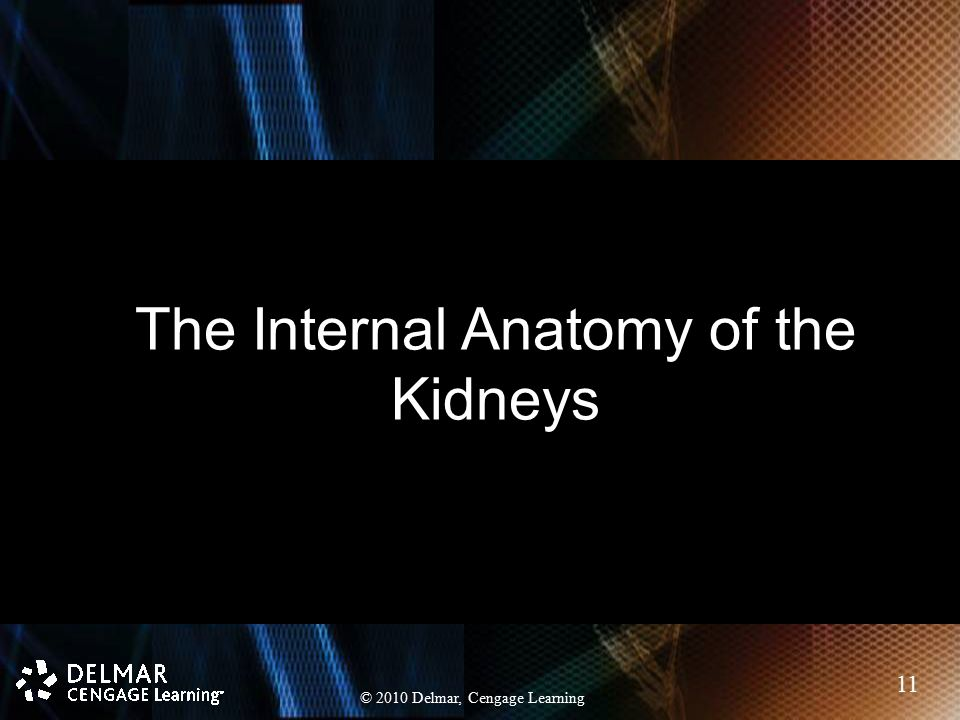 The Internal Anatomy of the Kidneys