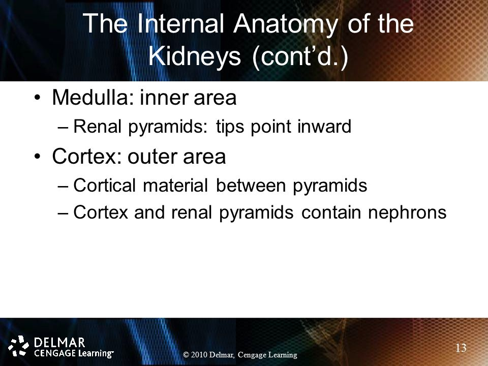 The Internal Anatomy of the Kidneys (cont'd.)