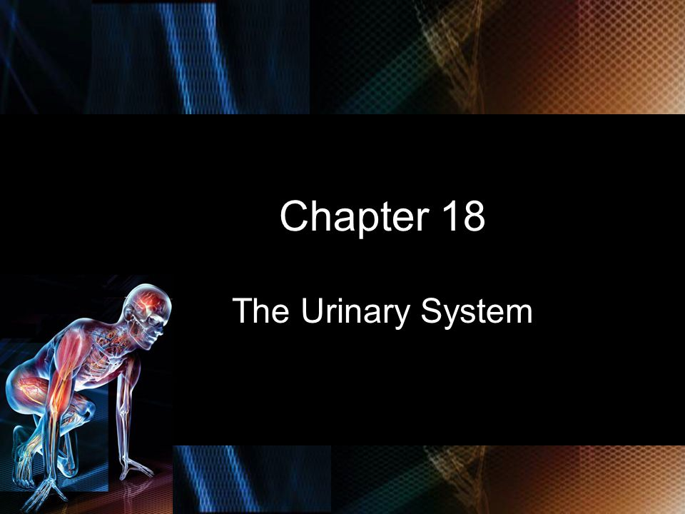 Chapter 18 The Urinary System