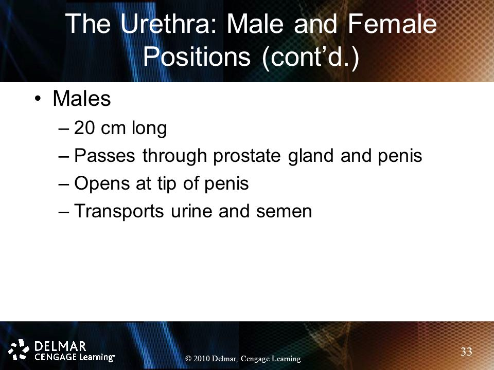 The Urethra: Male and Female Positions (cont'd.)