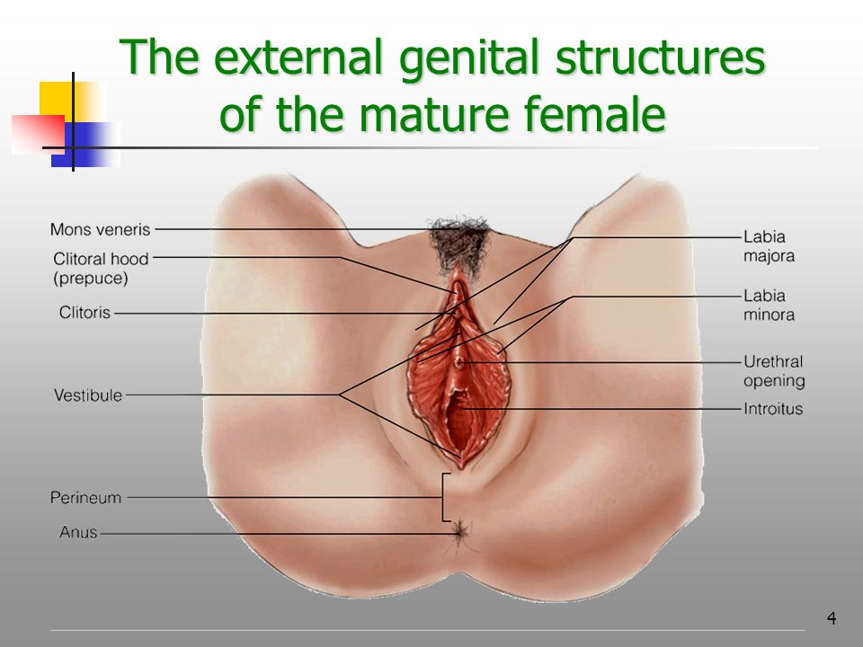 FEMALE REPRODUCTIVE ANATOMY - ppt video online download
