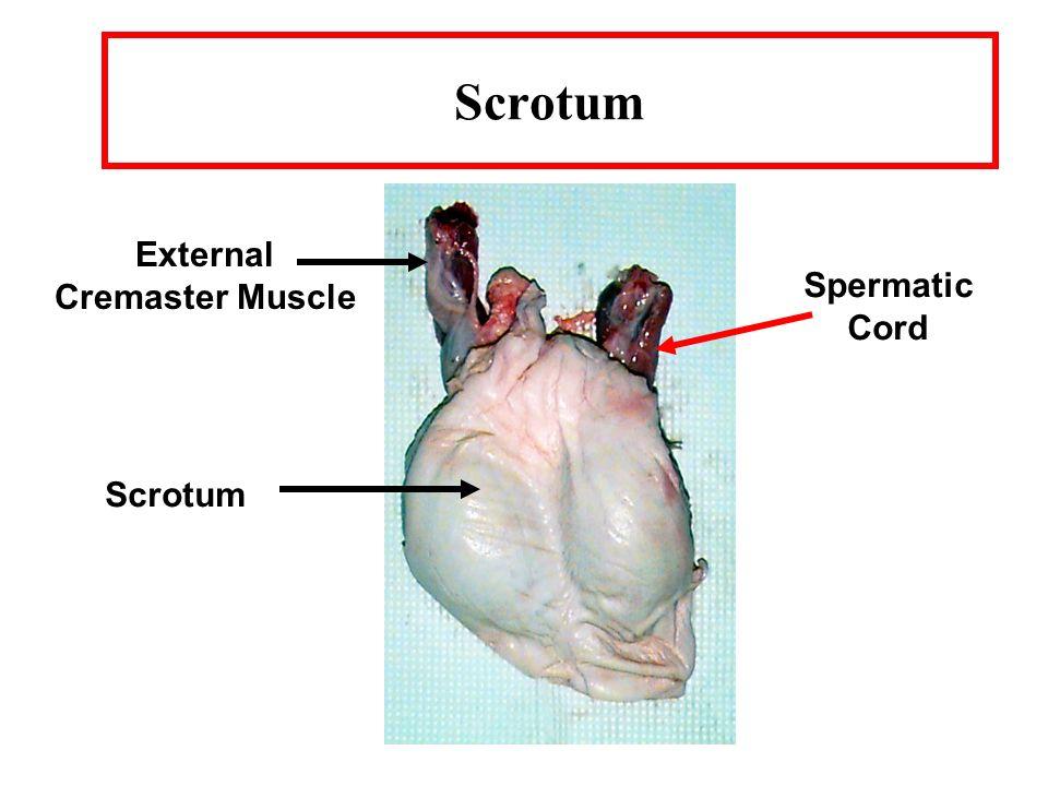 Boar Anatomy Cowpers Gland Seminal Vesicles Sigmoid Flexure Bladder ...