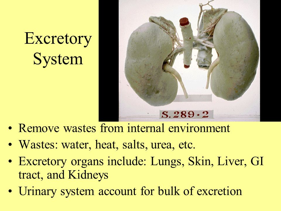 Tony Serino Phd Clinical Anatomy Misericordia Univ Ppt Video
