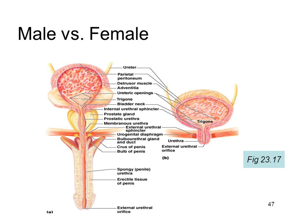 Diagram of male and female urethra online schematic diagram excretory systems semester 2 mbbs ppt video online download rh slideplayer com male reproductive system urethra male reproductive system urethra ccuart Choice Image