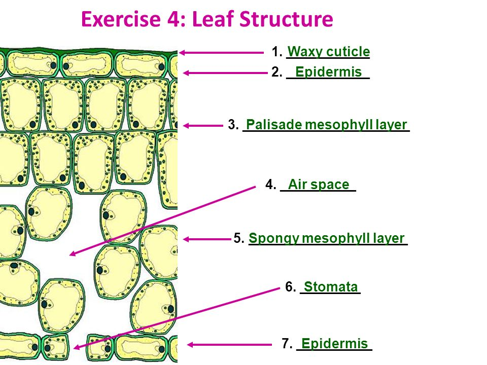 Exercise 4: Leaf Structure