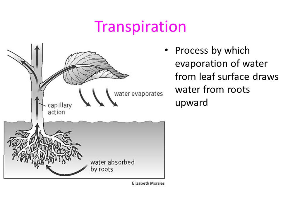 Transpiration Process by which evaporation of water from leaf surface draws water from roots upward