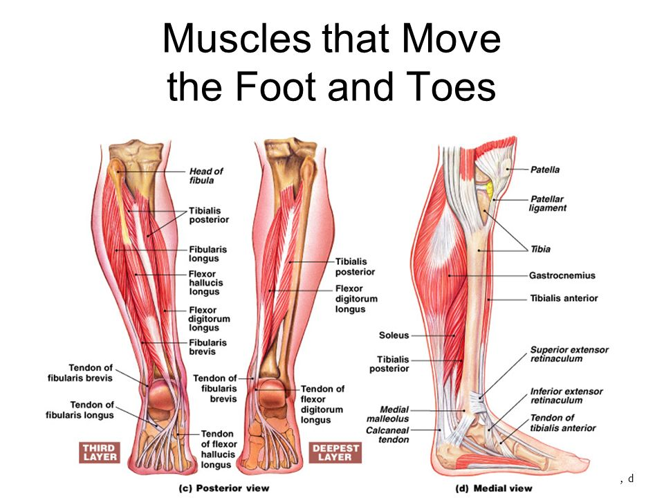 Muscles Of The Pelvis Leg And Foot Ppt Video Online Download