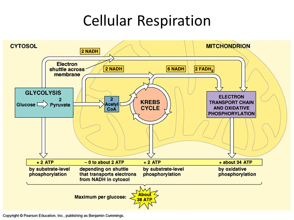Ap bio exam review cell energy respiration photosynthesis ppt 12 cellular respiration ccuart Images