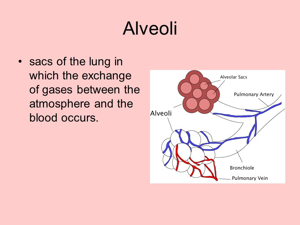 Alveoli sacs of the lung in which the exchange of gases between the atmosphere and the blood occurs.