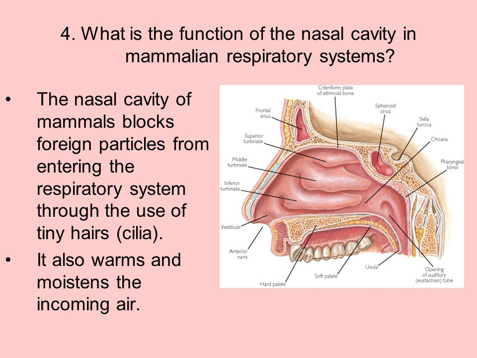 4. What is the function of the nasal cavity in mammalian respiratory systems