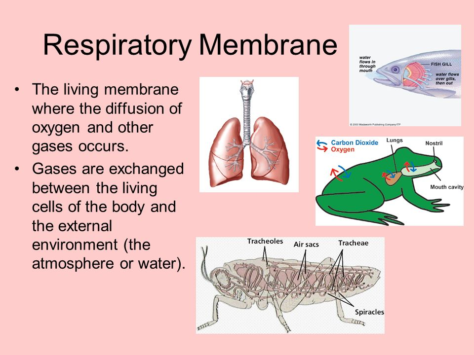Respiratory Membrane The living membrane where the diffusion of oxygen and other gases occurs.