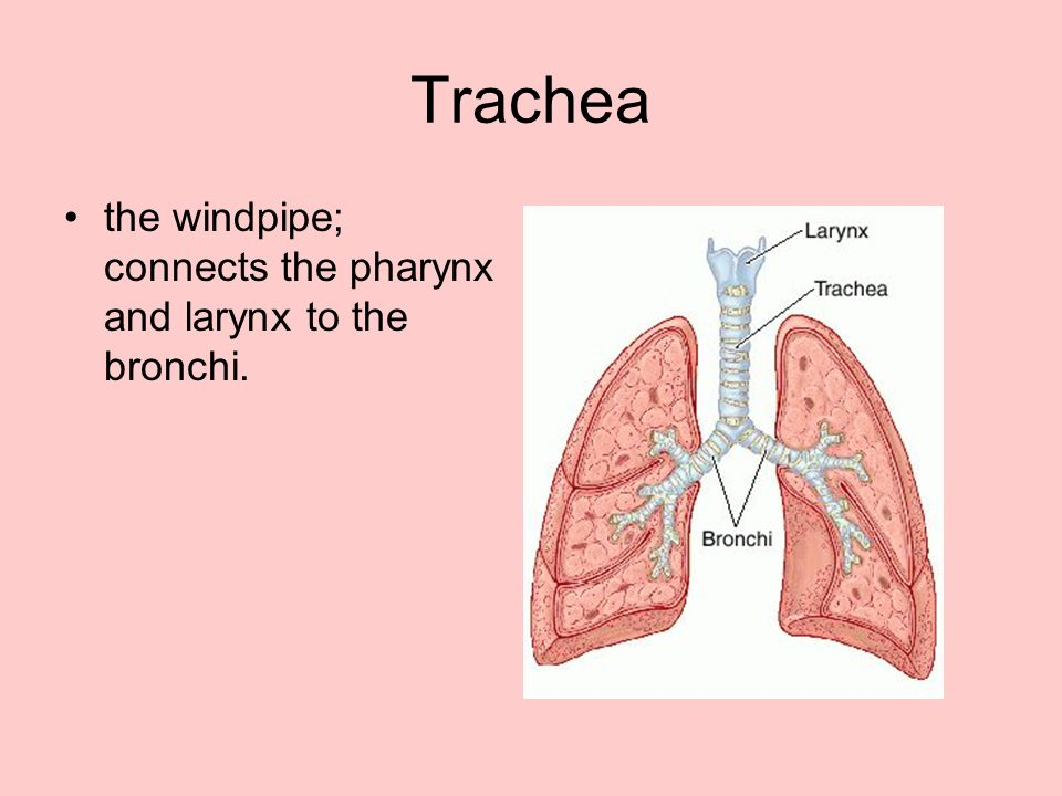 Trachea the windpipe; connects the pharynx and larynx to the bronchi.