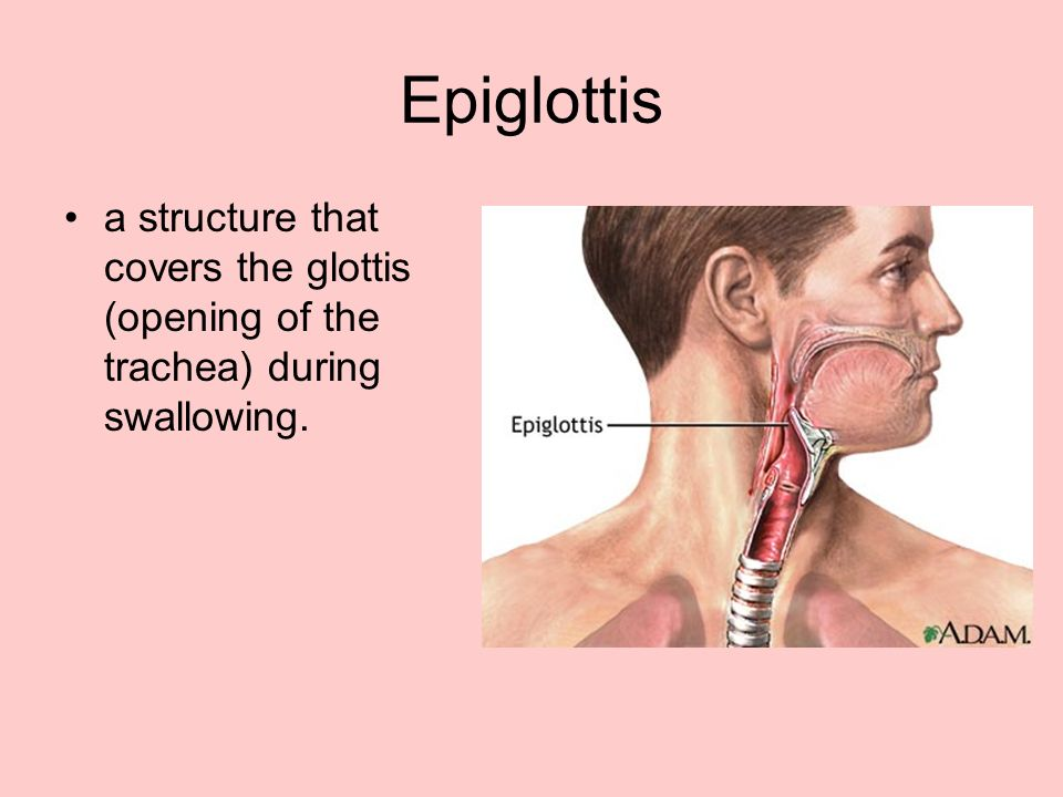 Epiglottis a structure that covers the glottis (opening of the trachea) during swallowing.