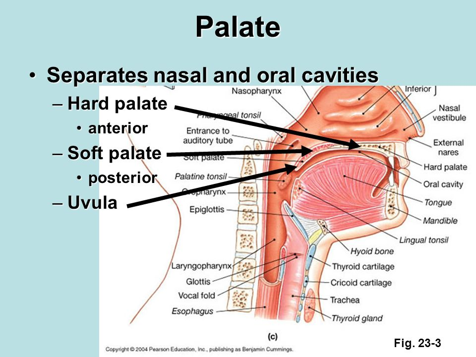 Separates the oral and nasal cavities foto 976