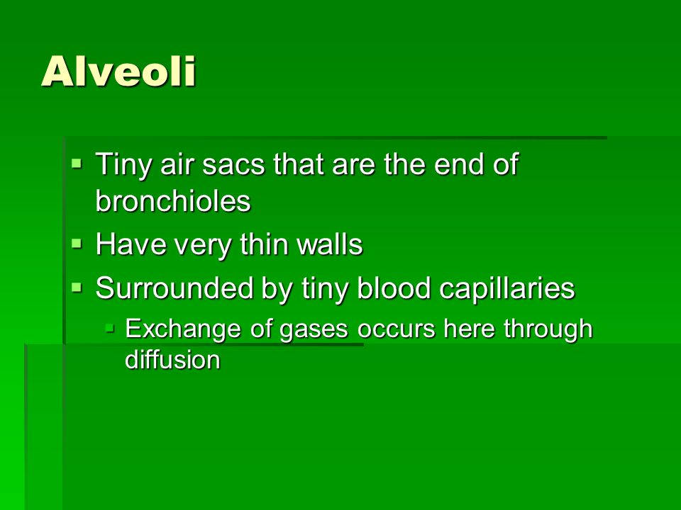 Alveoli Tiny air sacs that are the end of bronchioles
