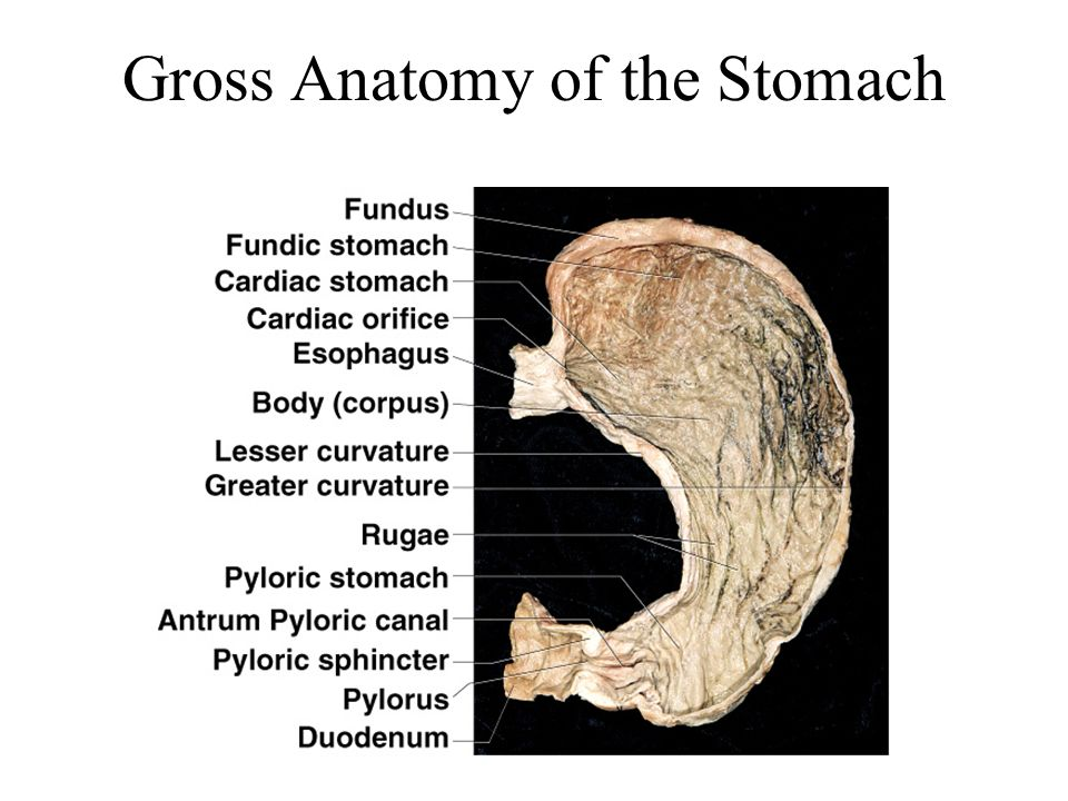 Chapter 25 The Digestive System - ppt video online download