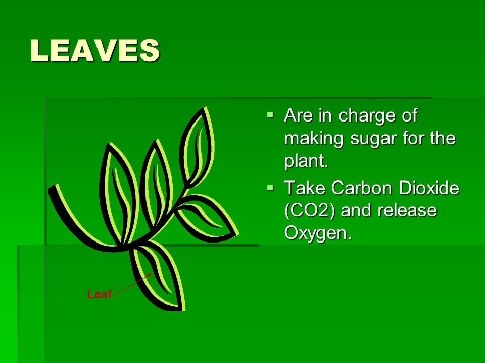 LEAVES Are in charge of making sugar for the plant.