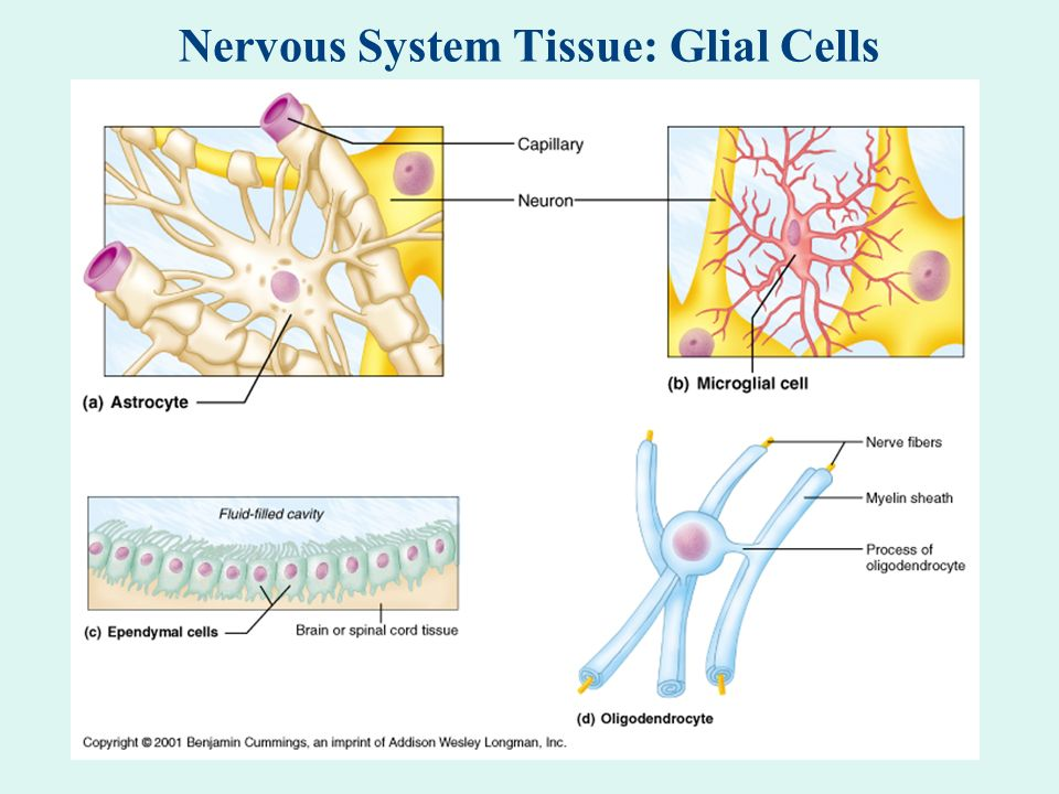 Nervous System Tissue: Glial Cells