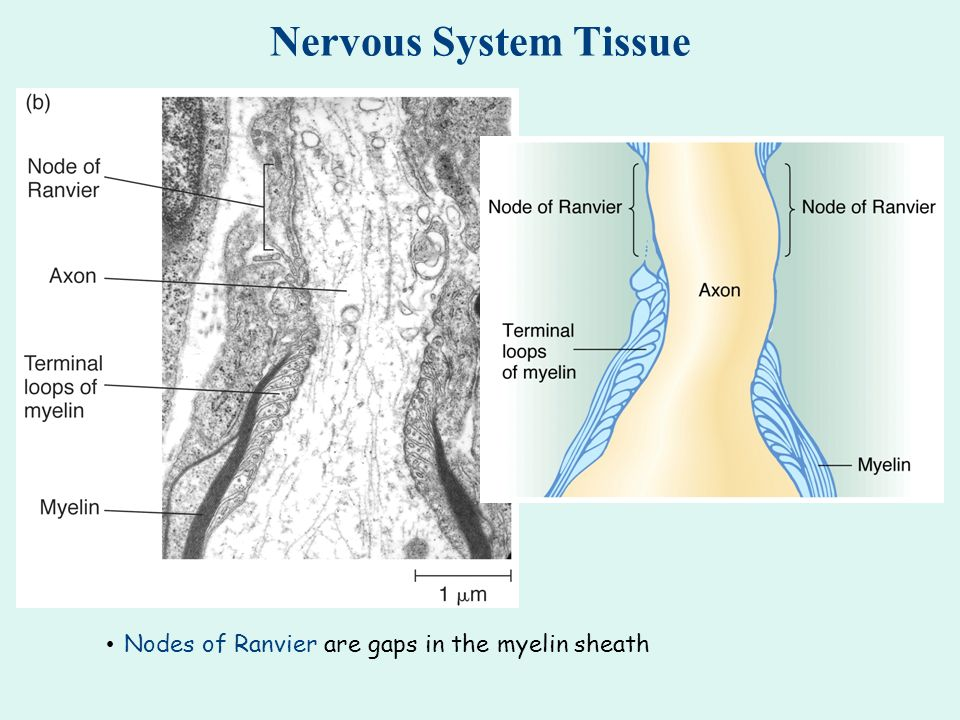 Nervous System Tissue Nodes of Ranvier are gaps in the myelin sheath
