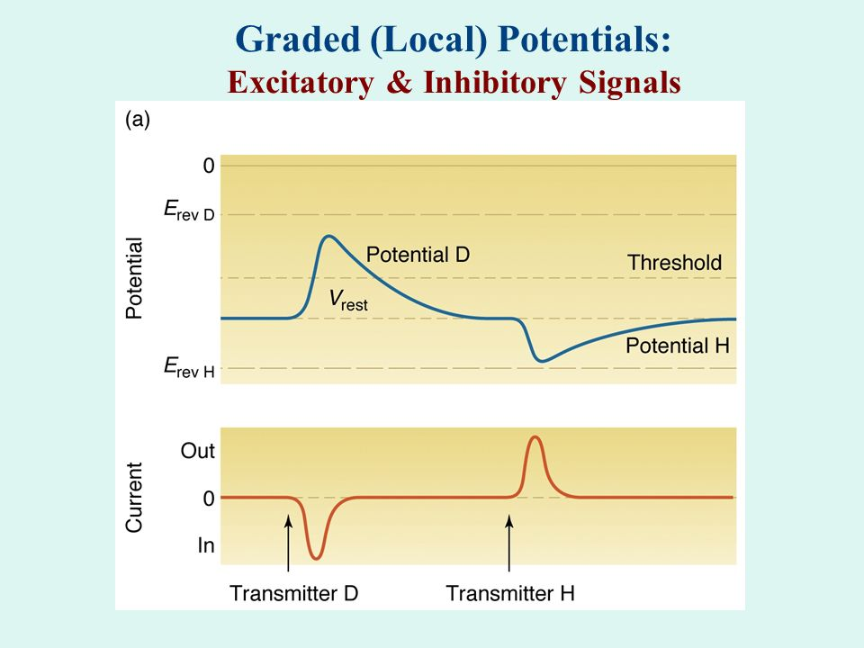 Graded (Local) Potentials: Excitatory & Inhibitory Signals