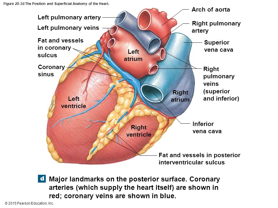 An Introduction to the Cardiovascular System - ppt download