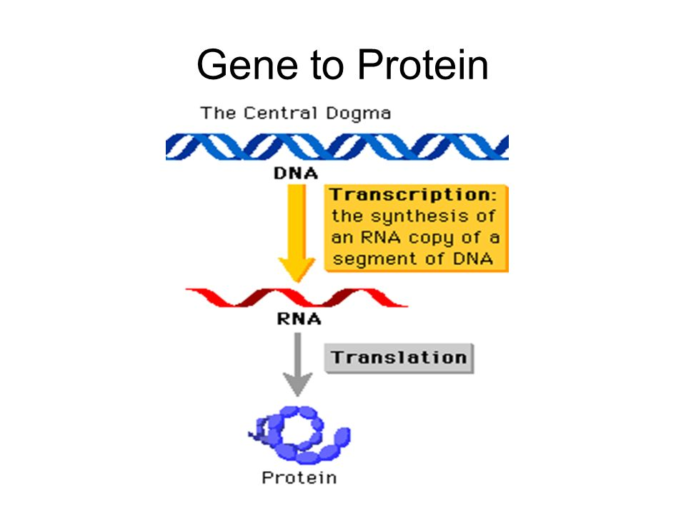 Gene to Protein
