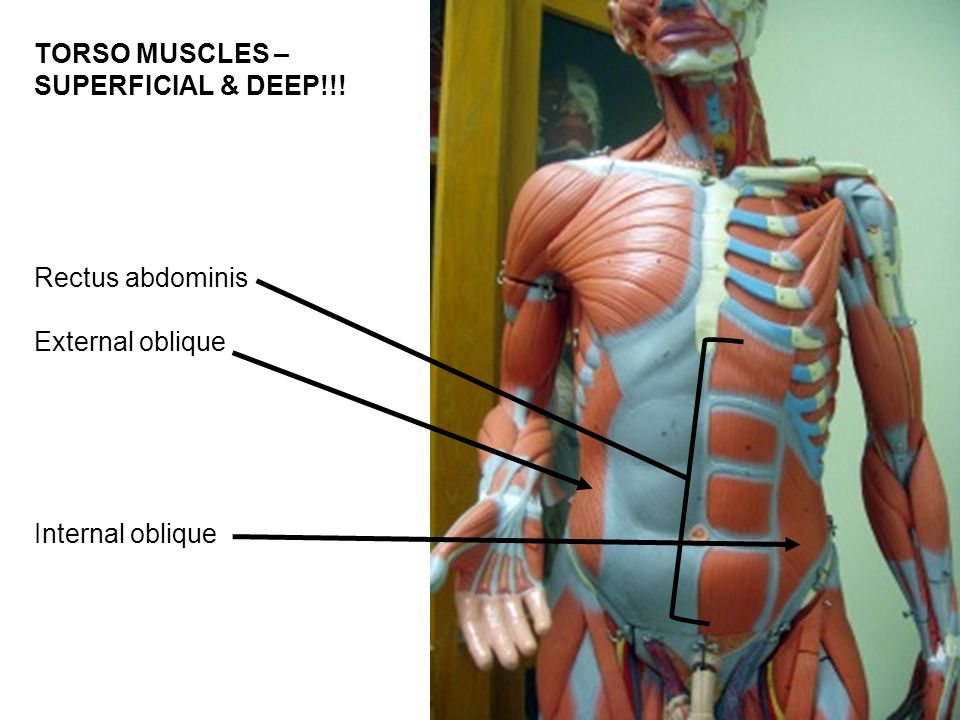 Lab Exercise 16 Part 1 Gross Anatomy Of The Muscular System Ppt