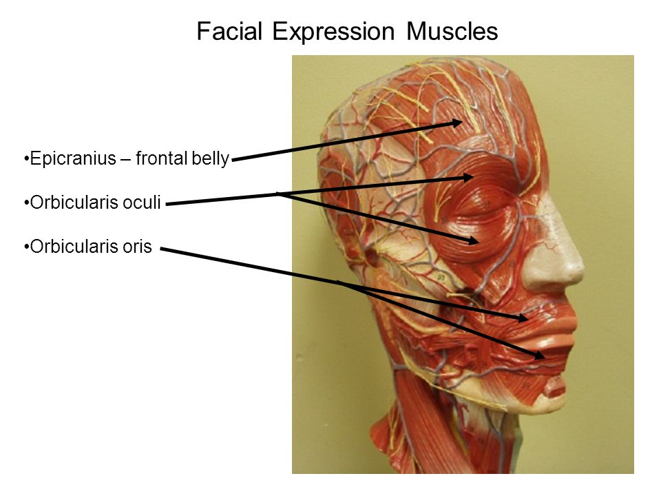 Lab Exercise 16 Part 1 Gross Anatomy of the Muscular System - ppt ...