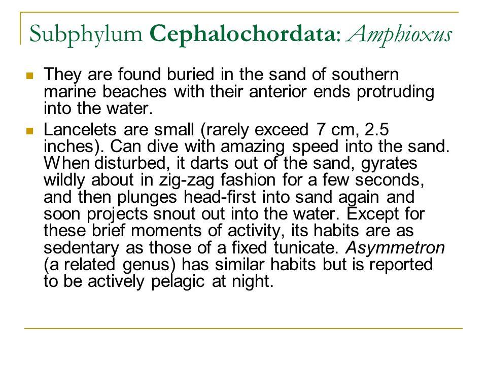 affinities of amphioxus