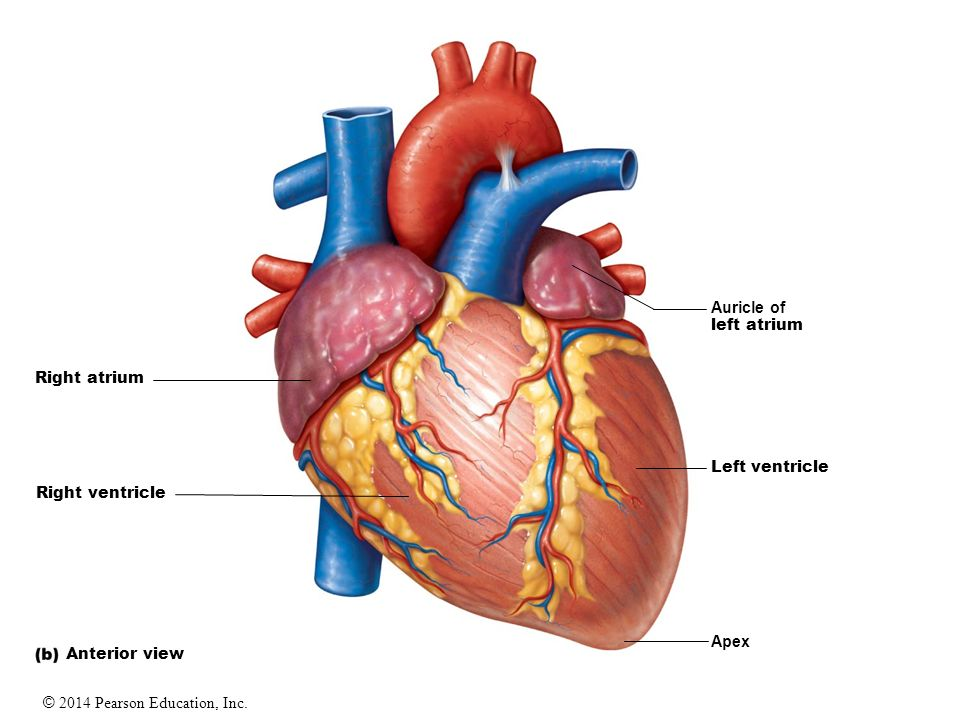 19 The Heart. - ppt video online download
