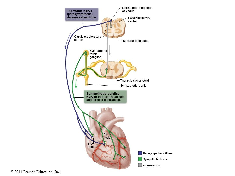 interconnected intrinsic cardiac ganglia - 960×720