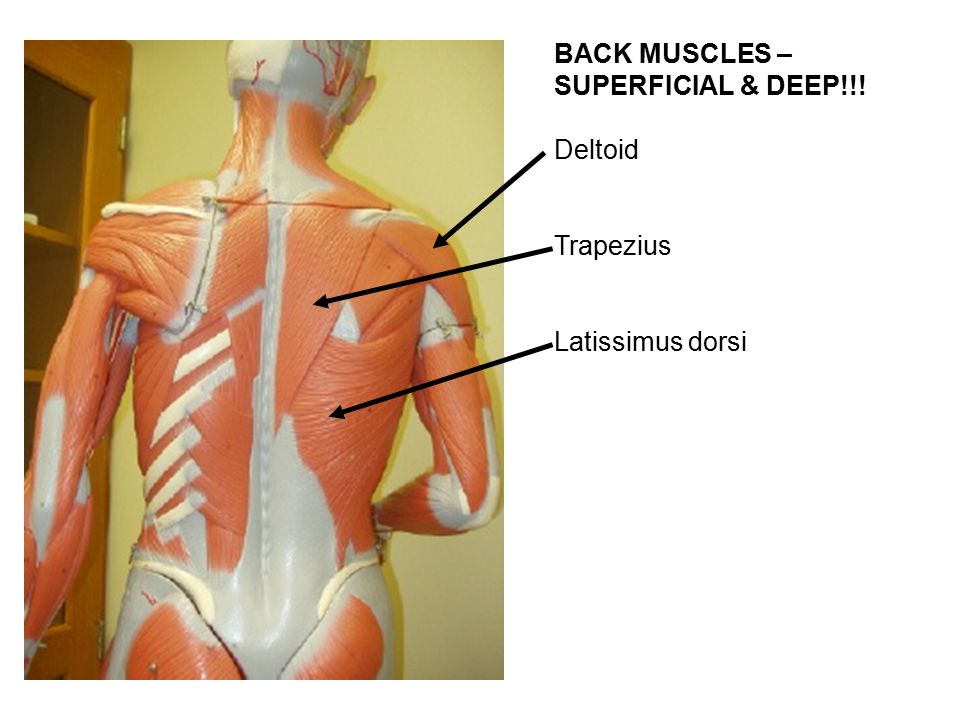 the superficial back muscles attachments actions