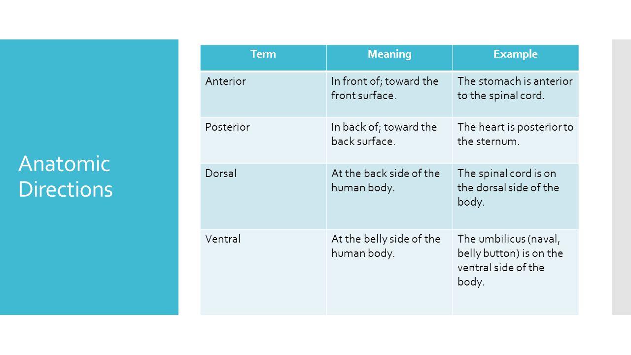 Amazing Dorsal Anatomy Definition Motif - Anatomy and Physiology ...