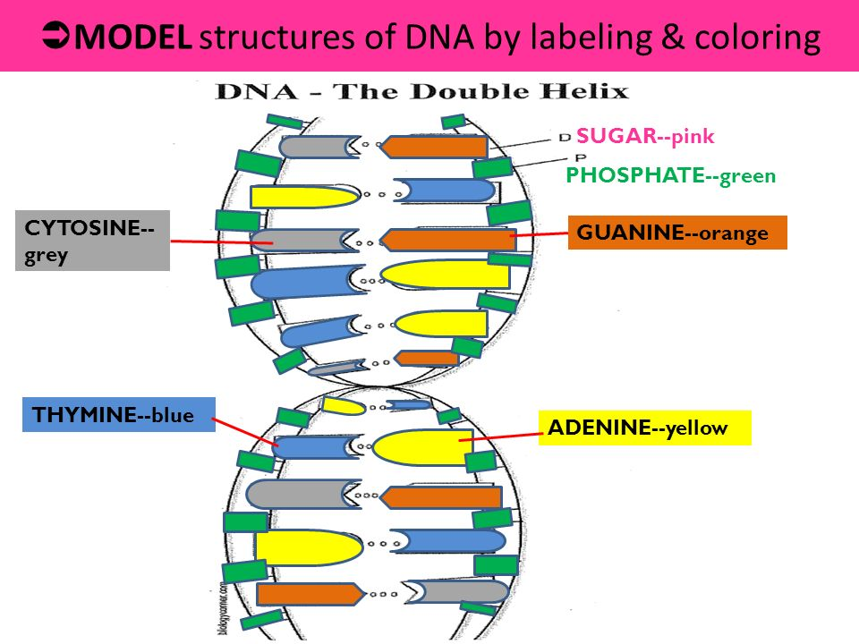 12.1 dna: structure & function - ppt download