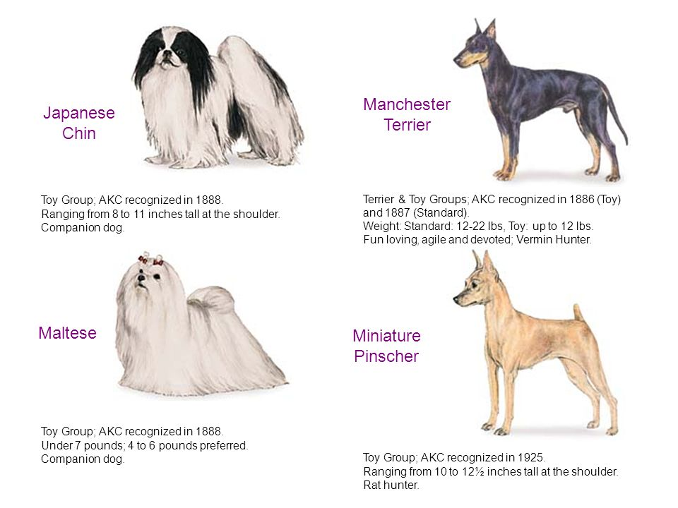 groups of dog breed recognized by the american kennel club akc The american kennel club only recognizes  once recognized by the akc, the breed  american kennel club (akc) group: the miscellaneous class dog care  dog.