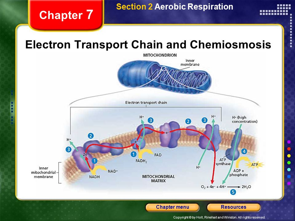 diagram of electron transport chain and chemiosmosis in