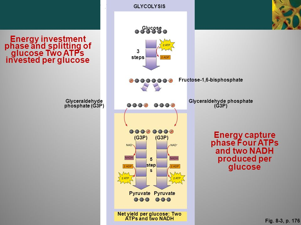Energy capture phase Four ATPs and two NADH produced per glucose