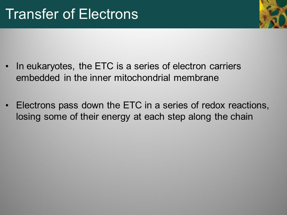 Transfer of Electrons In eukaryotes, the ETC is a series of electron carriers embedded in the inner mitochondrial membrane.