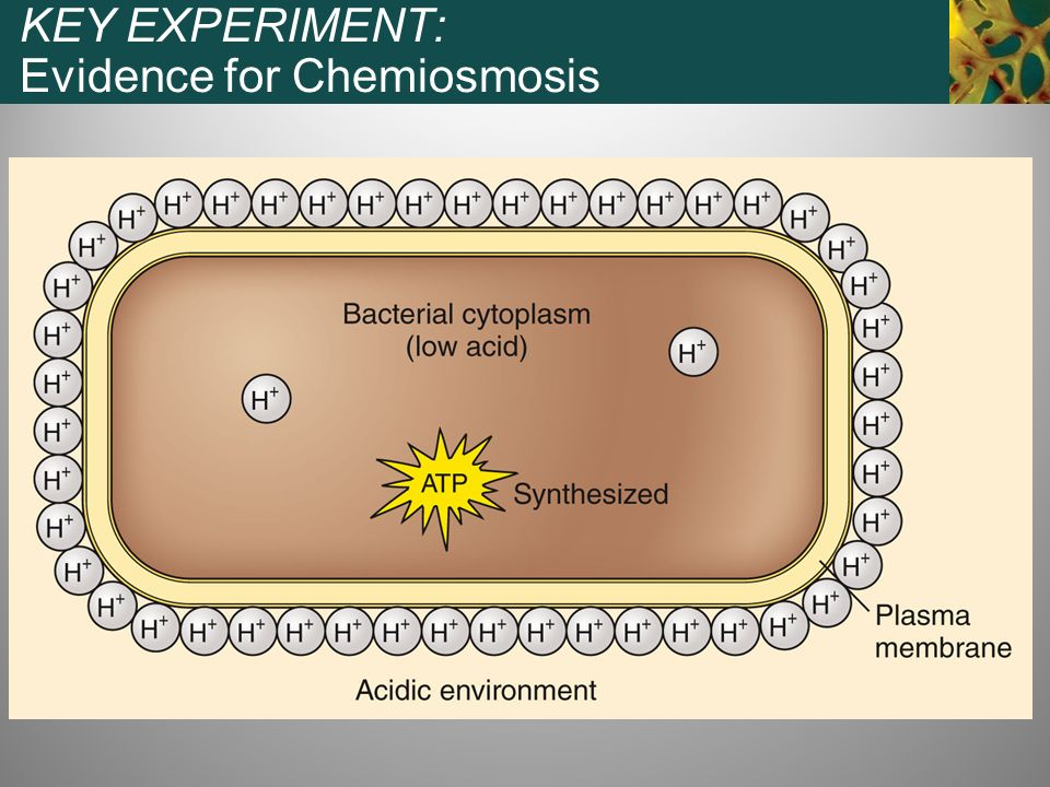 KEY EXPERIMENT: Evidence for Chemiosmosis