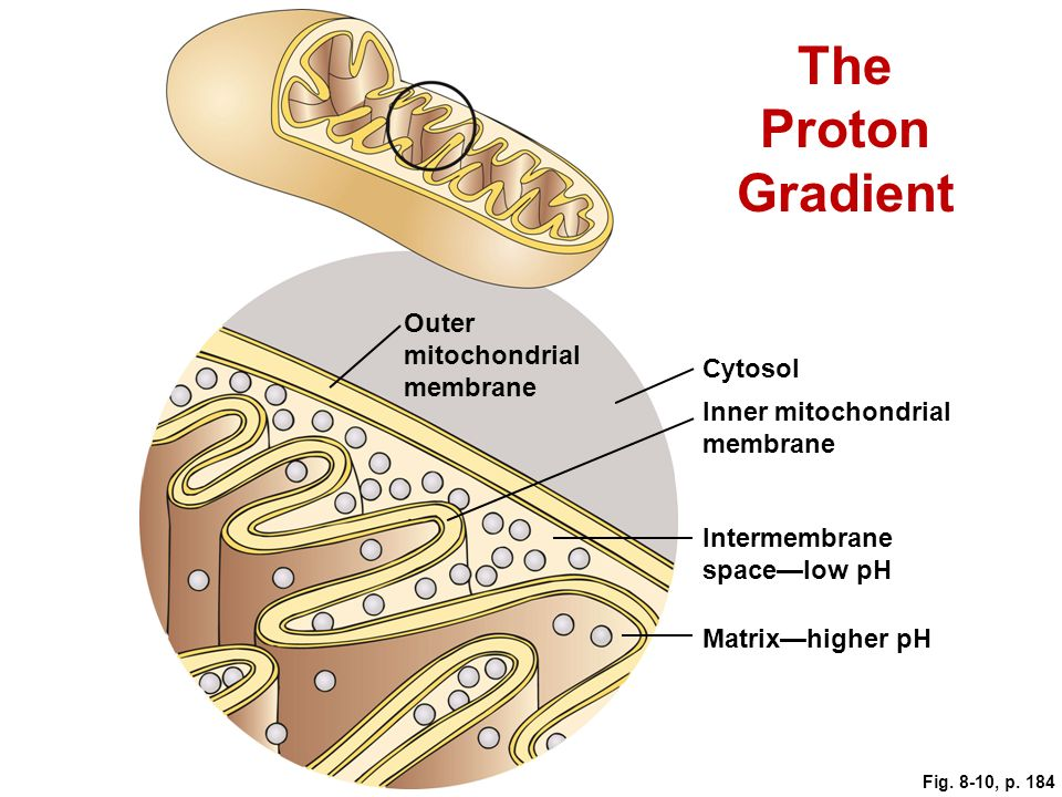 The Proton Gradient Outer mitochondrial membrane Cytosol