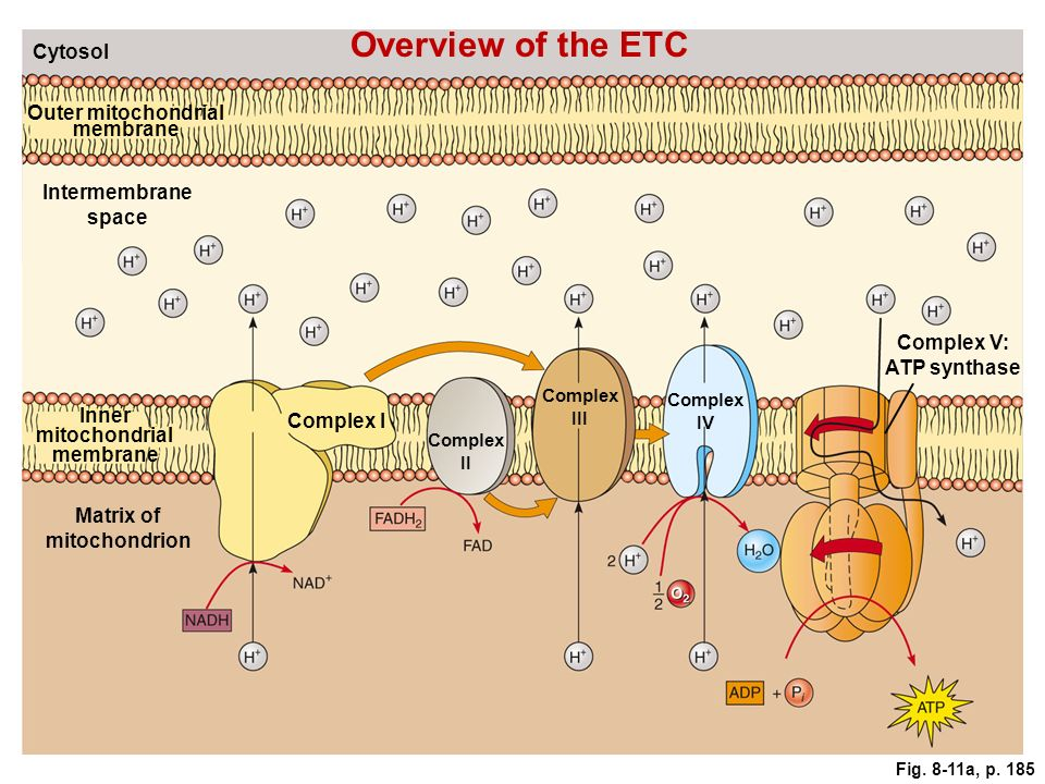 Overview of the ETC Cytosol. Outer mitochondrial membrane. Intermembrane space. Complex V: ATP synthase.