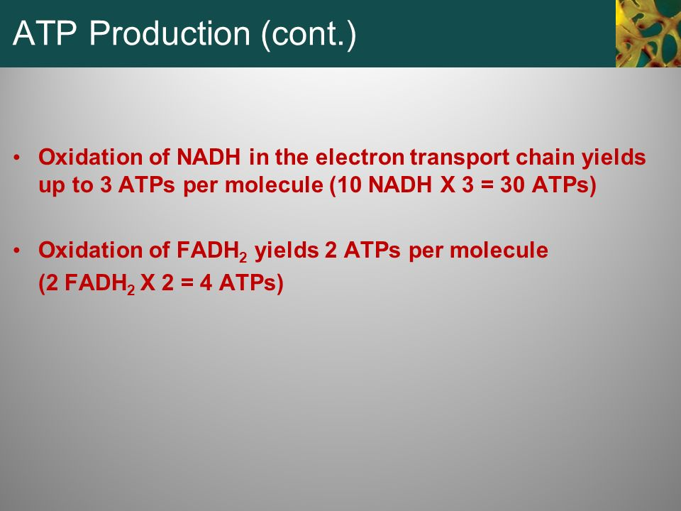 ATP Production (cont.) Oxidation of NADH in the electron transport chain yields up to 3 ATPs per molecule (10 NADH X 3 = 30 ATPs)