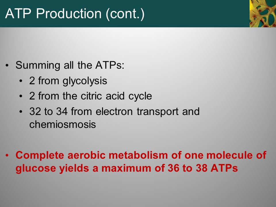 ATP Production (cont.) Summing all the ATPs: 2 from glycolysis