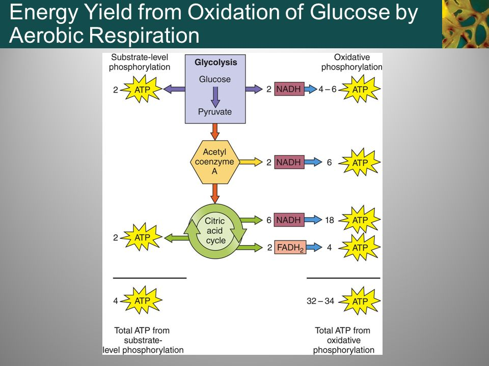 Energy Yield from Oxidation of Glucose by Aerobic Respiration