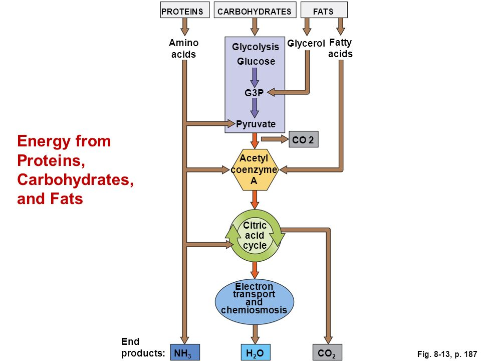 Energy from Proteins, Carbohydrates, and Fats